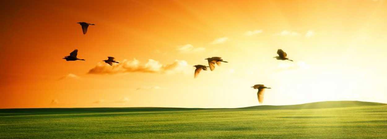 blueheron_flying_sunset